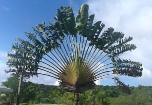 Big green palm