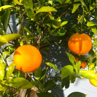 Oranges, fresh off the tree